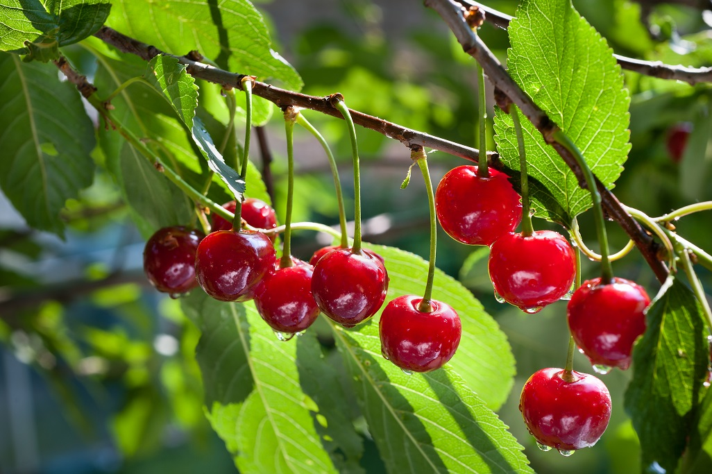 Mùa Cherry Úc nhập khẩu